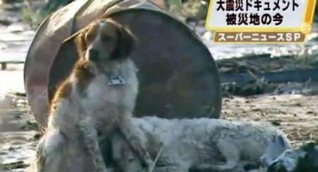 Anjing Korban Gempa Jepang, Simbol Kesetiaan