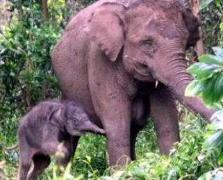 Mengharukan, Anak Gajah Lindungi Ibunya yang Pingsan
