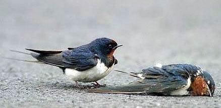 Kisah Nyata Kesetiaan Burung Dara