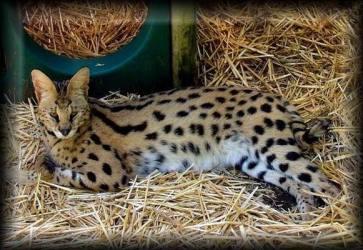 Cat Kucing Tiger