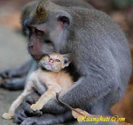 Sepasang Monyet di Bali Mengadopsi Kucing