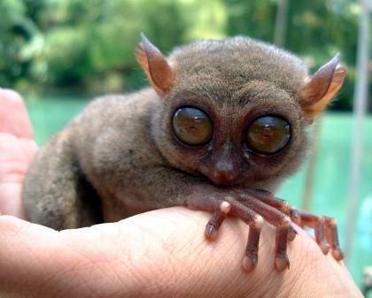 Tarsier Pygmy
