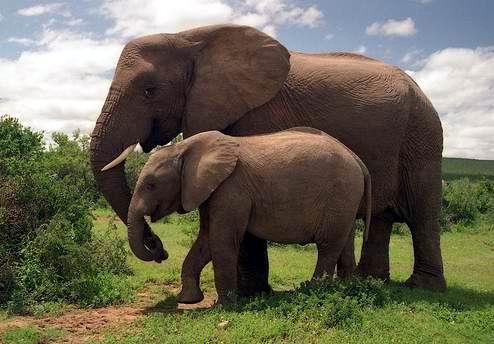 Gajah Lucu