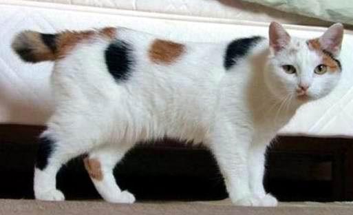 Kucing Jantan